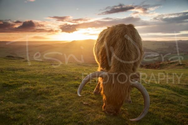 Highland Cattle Peak District Photography Workshops Wildlife