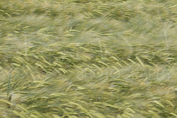 Wheat Movement Abstract Photography