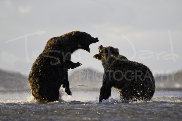 Katmai Grizzly Bear Hallo Bay Wildlife Photography Fight