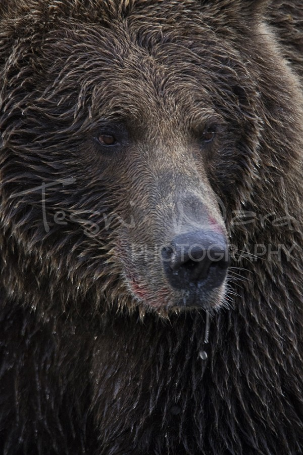Katmai Kinak Bay Alaska Grizzly Bear Photography