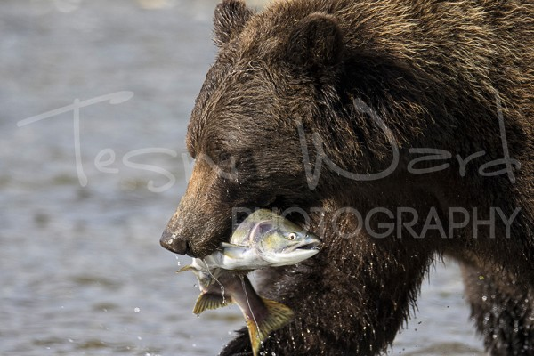 Katmai Alaska Wildlife Grizzly Bear Kinak Bay