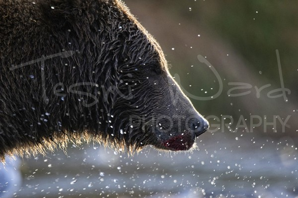 Katmai Kinak Bay Grizzly Bear Sunset Alaska Wildlife Photography