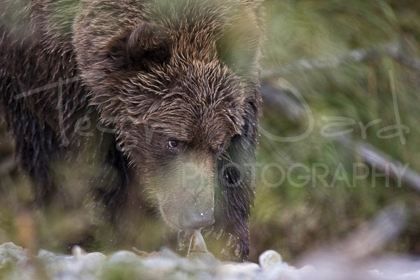 Katmai Grizzly Bear Alaska Wildlife