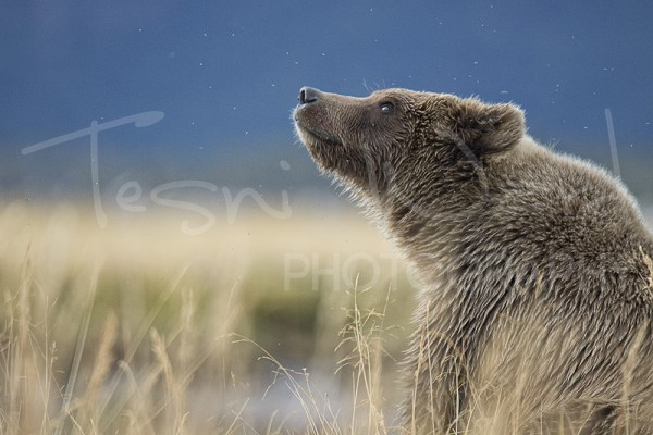 Hallo Bay Katmai Grizzly Bear Alaska Wildlife Photography