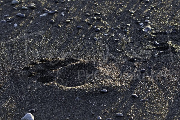 Katmai Grizzly Bear Hallo Bay Wildlife Photography footprint