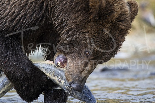 Katmai Grizzly Bear Wildlife Alaska Kinak Bay