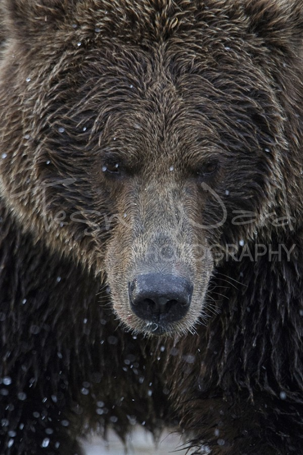 Kodiak Bay Kinak Grizzly Bear Wildlife Photography Alaska