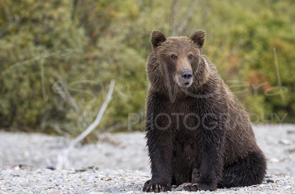 Katmai Grizzly Bear Alaska Wildlife Photography