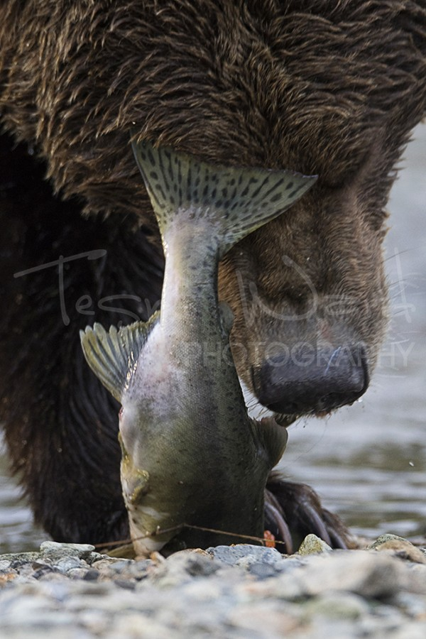 Katmai Grizzly Bear Salmon Kinak Bay Alaska Photography