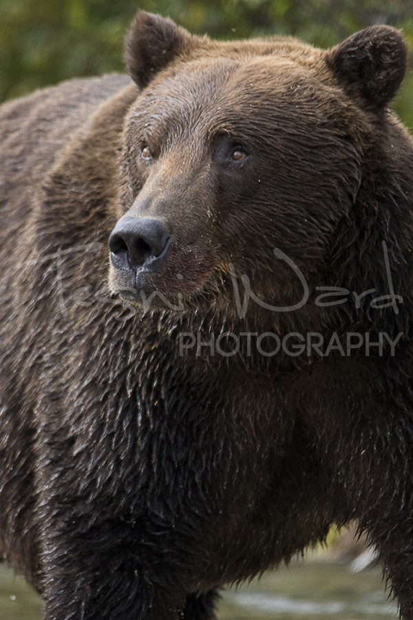 Katmai Grizzly Bear Hallo Bay Wildlife Photography
