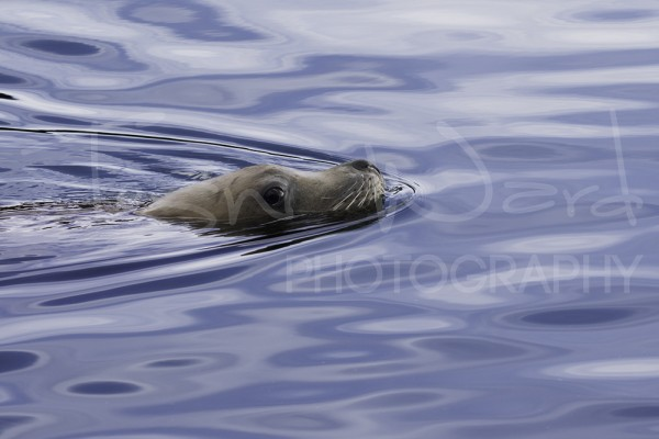 Sea Lion Kodiak Alaska Wildlife Photography