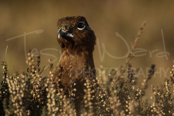 Red Grouse Peak District Photography Wildlife