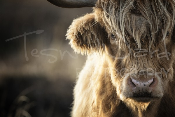 Highland Cattle Cow Peak District Wildlife Photography
