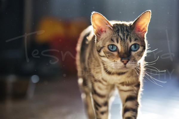 Bengal Cat Photography