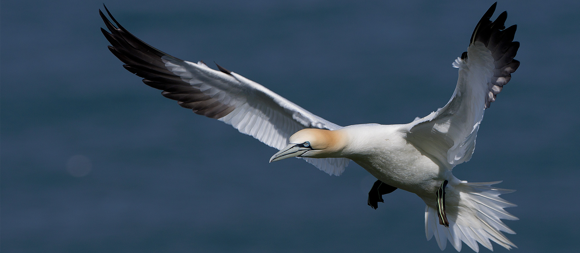 Coastal Bird Photography Workshop Wildlife Gannet Bempton