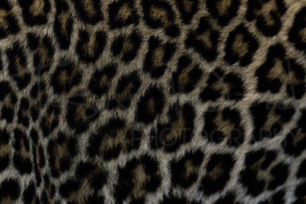 Leopard Spots Wildlife Photography Maasai Mara Bella