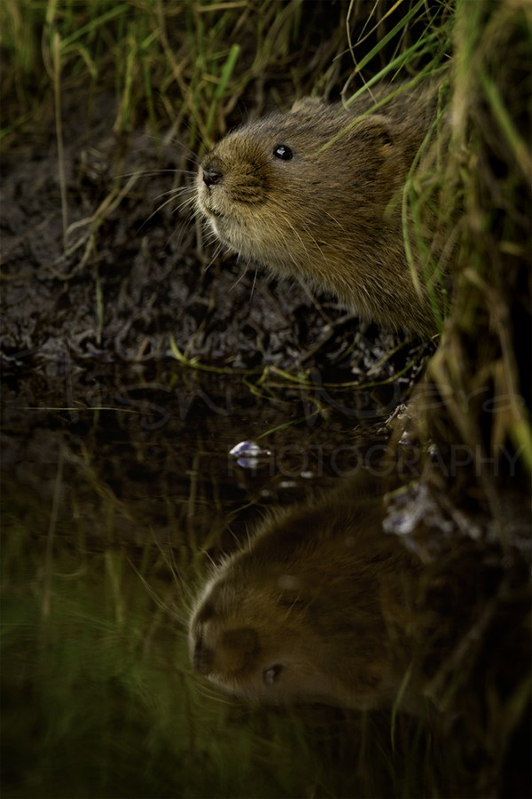 Water Vole Peak District Wildlife Photography