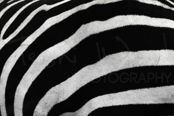 Zebra Africa Maasai Mara