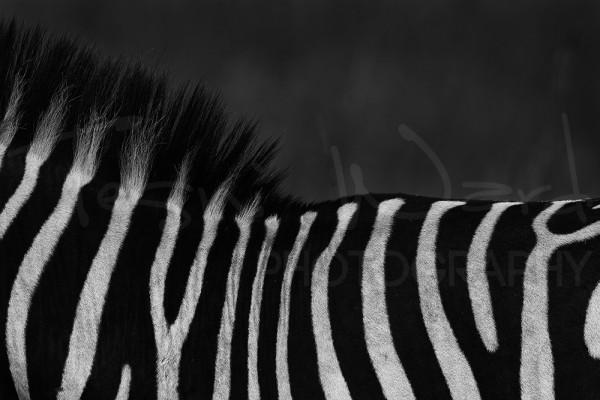 Zebra Africa Maasai Mara Photographic Safari