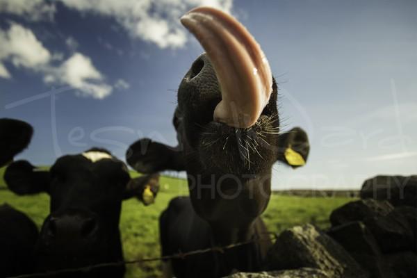Cow Lick Peak District Photography Wildlife Animal