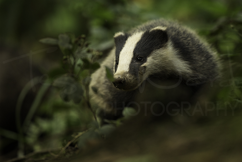 Badger Peak District Wildlife Photography