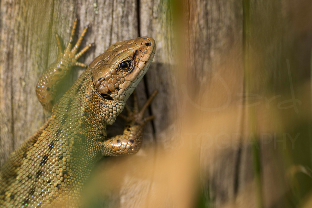 Common Lizard Peak District Wildlife Photography