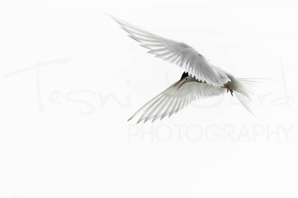 Arctic Tern Farne Island Inner Wildlife Photography Tuition