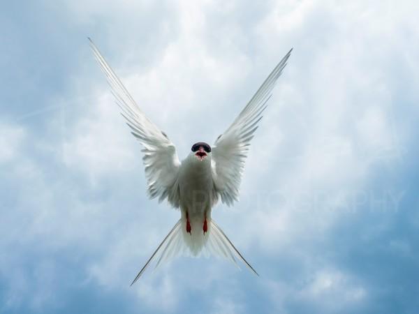 Arctic Tern Farne Islands Wildlife Photography