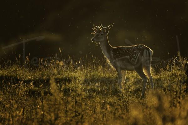 Fallow Deer Peak District Wildlife Photography UK