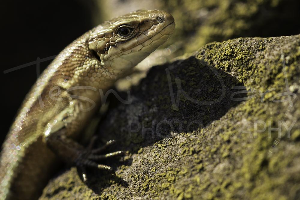 Common Lizard Photography Workshops