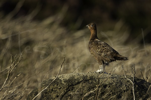 Red Grouse Peak District Wildlife Photography