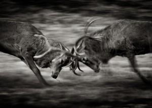 Red Deer Rut Wildlife Photography