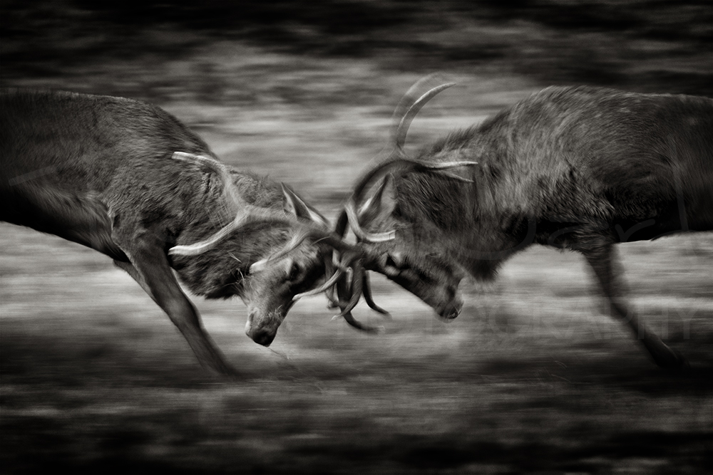 Red Deer Rut Wildlife Photography