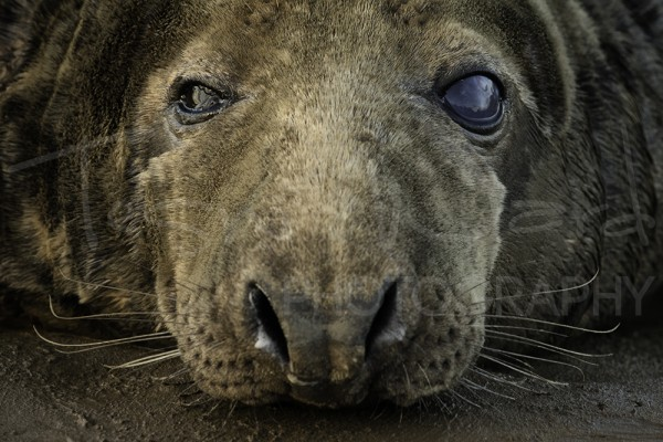 Bull Grey Seal Donna Nook Wildlife Photography