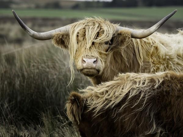 Highland Cattle Photography Wildlife Peak District
