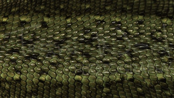Vivipara Common Lizard Scales