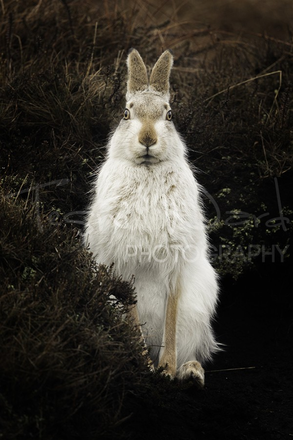 Mountain Hare Peak District Wildlife Photography Workshop