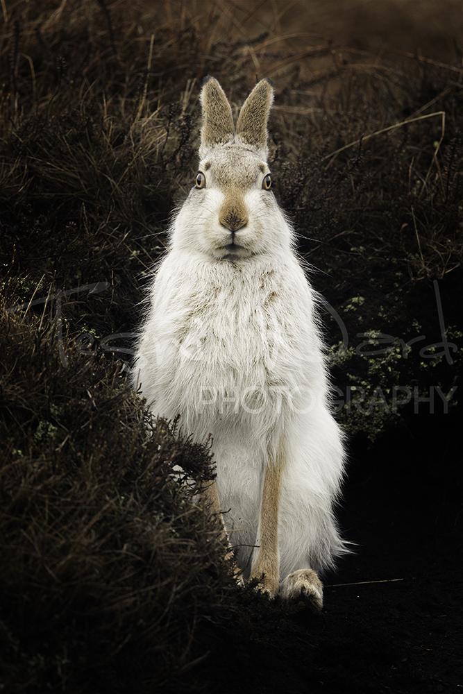 Mountain Hare Peak District Wildlife Photography Workshop