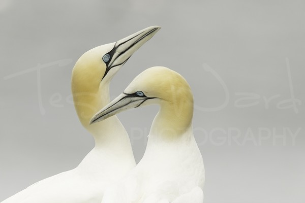 Gannet Wildlife Photography Bempton Cliffs