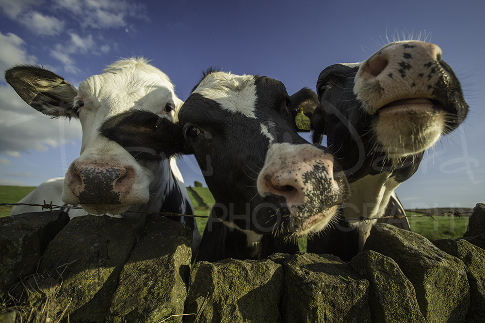 Curious Cow Peak District Wildlife Photography