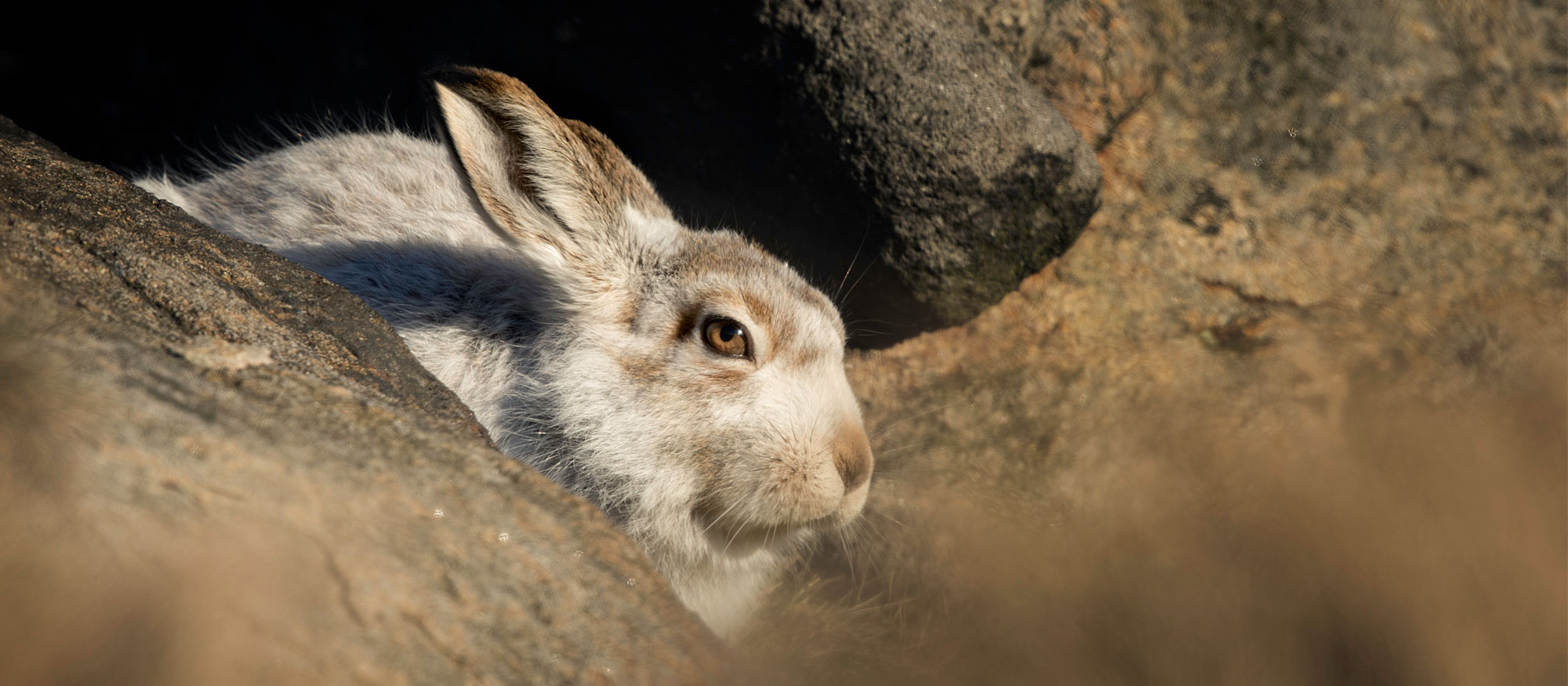 Photographing Mountain Hares