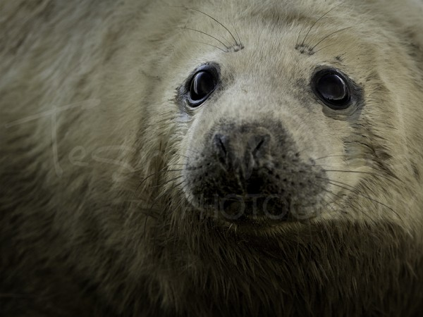 Grey Seal Pup Wildlife Photography Donna Nook Lincolnshire