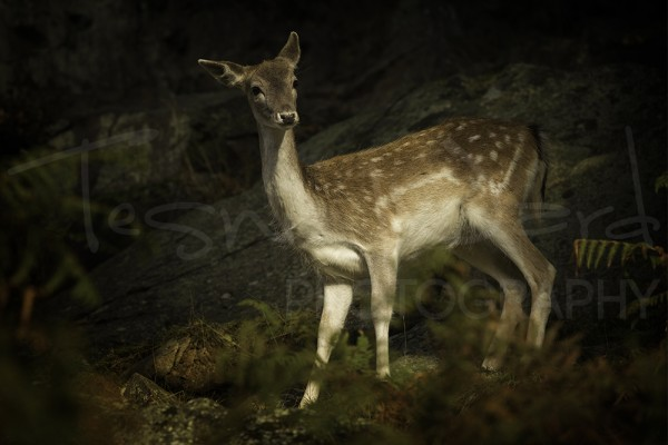 Fallow Deer Rut Wildlife Photography Workshop