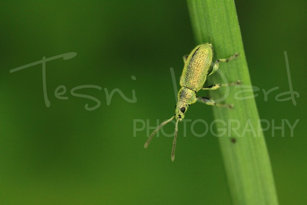 Green Beetle Peak District Photography Weevel