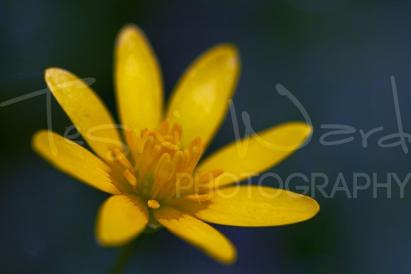 Celandine Flower Macro Photography