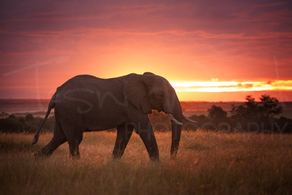 Elephant Sunrise Africa Maasai Mara Photographic Safari