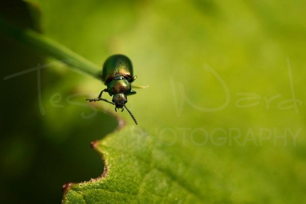 Gastrophysa Viridula Green Dock Beetle