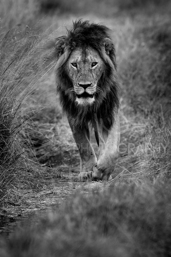 Lion Notch Africa Maasai Mara Photographic Safari