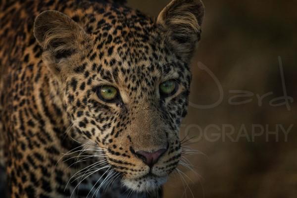 Leopard Maasai Mara Africa Photographic Safari