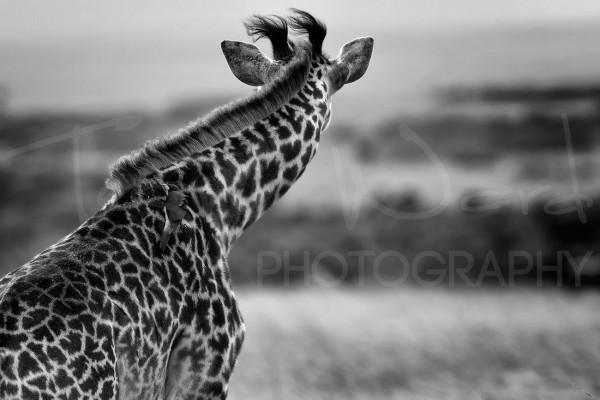 Giraffe Maasai Mara Photographic Safari Africa